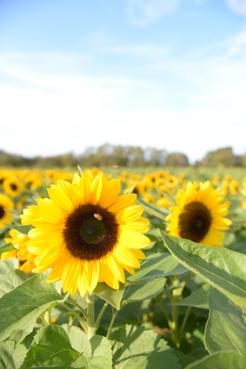 Sunflower Field Near NYC
