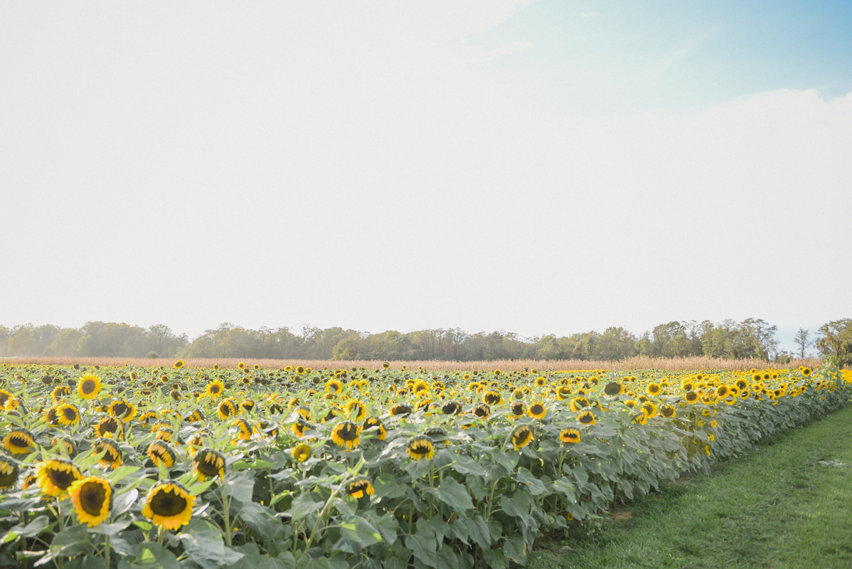 Sunflower Field Near NYC